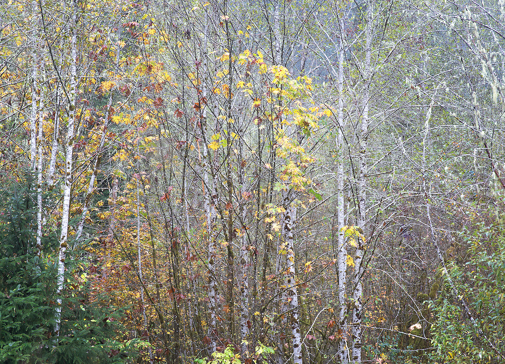 red alders and autumn maples 2 North Cascades Washington State