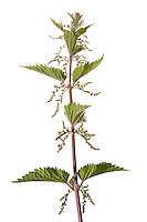 Common Nettle using Meet Your Neighbours field studio