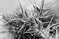 The crooked barbs of this prickly thistle silently dare anyone to touch its jagged defense.
