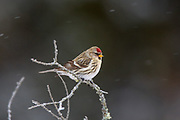 Female Common redpoll in winter