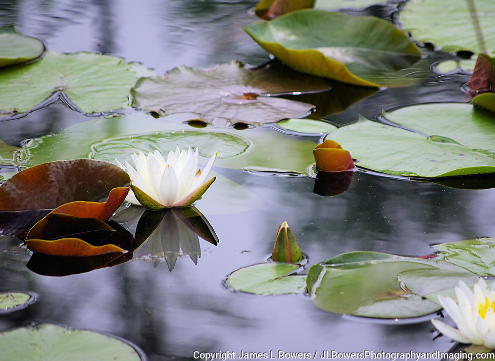 Lilly Pad Blossom Reflection
