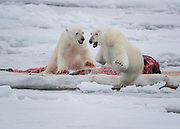 Although bears do cautiously share large carcasses like whales conflicts can arise.  In this photo a new hungry bear arrived on the scene and charged for the whale carcass.  The bear who had been feeding on the whale was not motivated by hunger and made a quick retreat and wait for a later turn.