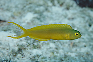 Meiacanthus oualanensis (Canary Fangblenny)