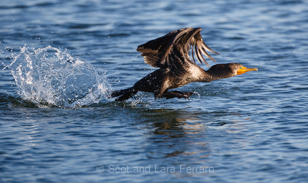 An immature Double-crested Cormorant takes off.  Their take offs are fun to watch as they make a few splashes getting going.