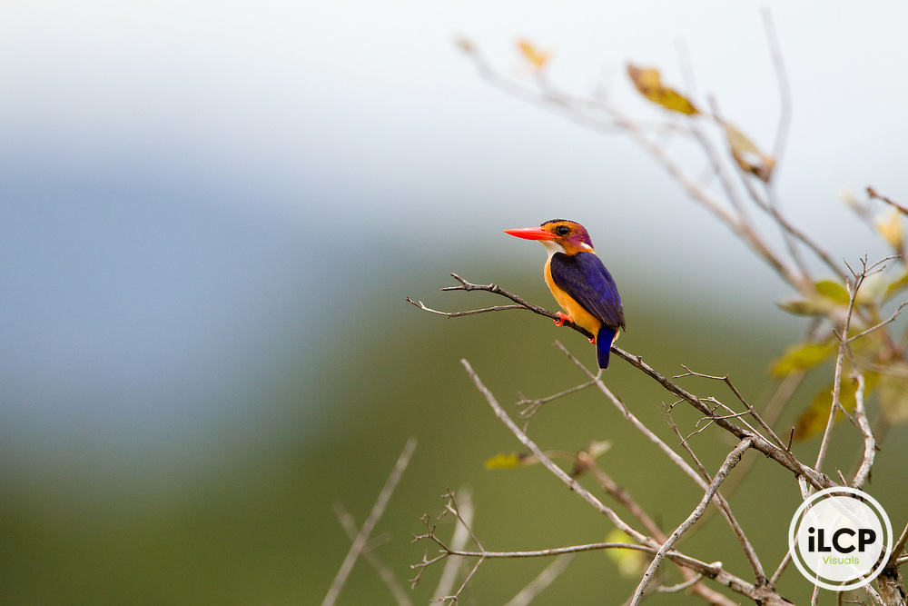 African Pygmy Kingfisher (Ispidina picta), Lope National Park, Gabon