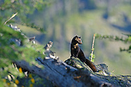 Marten in a alpine larch talus slope ecosytem at 7000 feet elevation in the Northwest Peak Scenic Area in summer. Kootenai National Forest in the Purcell Mountains, northwest Montana.