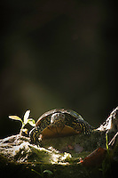 European Pond Turtle (Emys orbicularis) in its habitat of hard wood flood plain forests along the upper Danube basin, Gornje Podunavlje Special Nature Reserve, Serbia