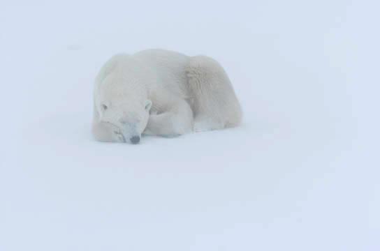 Polar Bear (Ursus maritimus) Resting in snow. November. Winter. Along the Hudson Bay near Churchill, Manitoba. Canada.