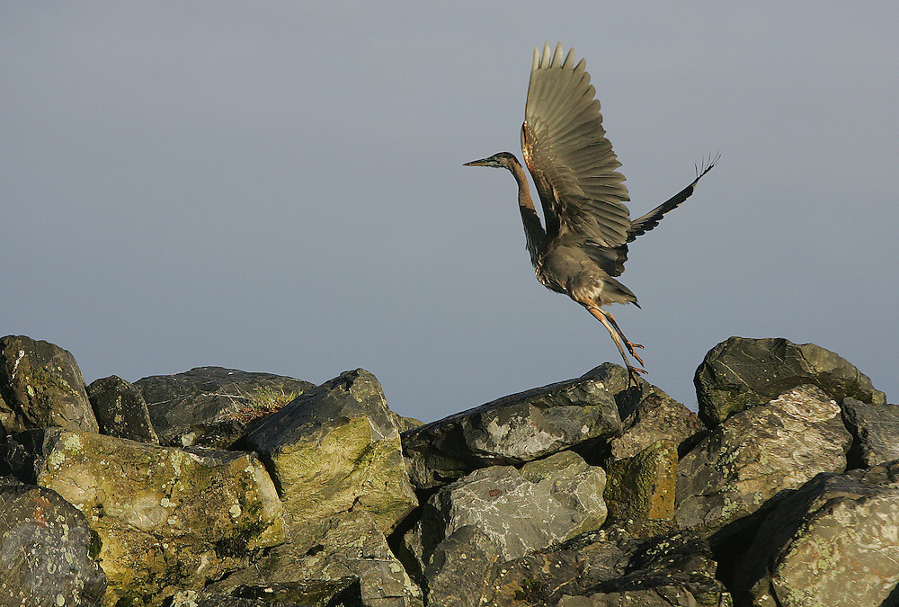 As the sunrises, a young Blue Heron leaps from the breakwater in the Cordova, Alaska Harbor.