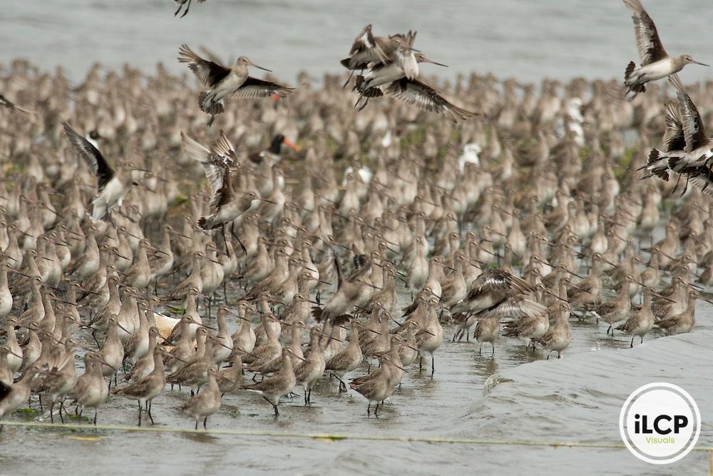 Migrating flock of 4,000 Hudsonian Godwits (Limosa haemastica).