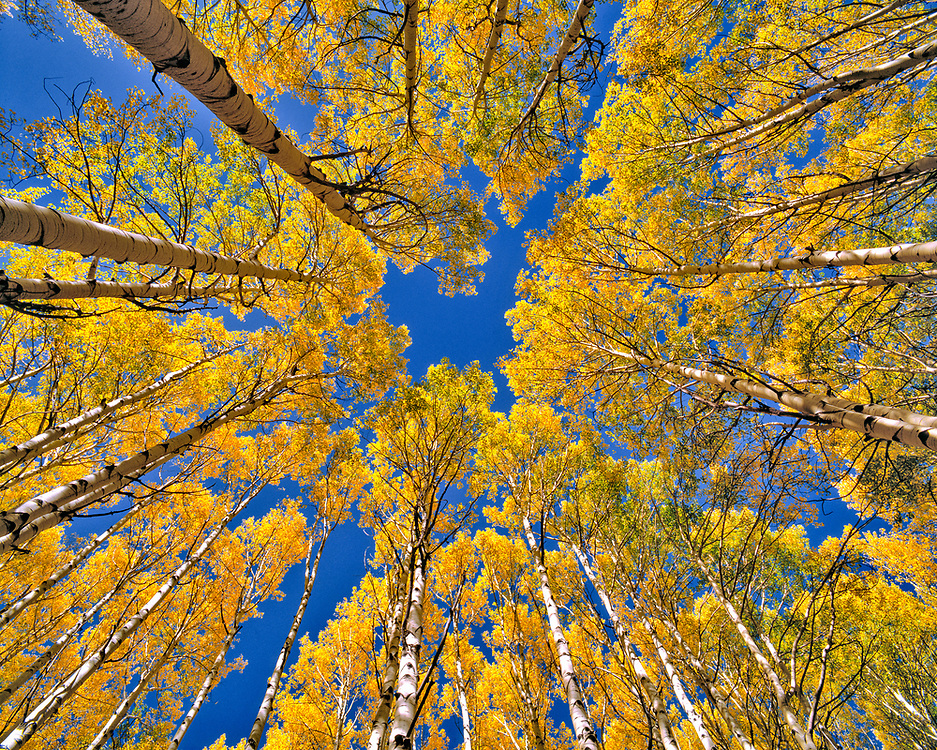 Aspen forest in fall color as seen from the forest floor, Colorado.