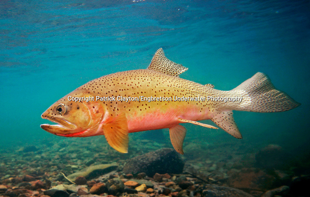 Westslope Cutthroat Trout<br /> <br /> Patrick Clayton/Engbretson Underwater Photography