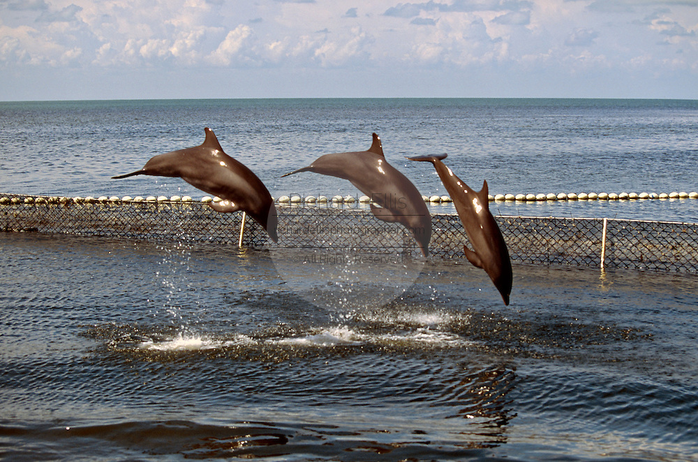 Bottle nose dolphins jump out of the water at the Dolphin Research Center  June 27, 1996 in Marathon Key, FL.  The center is where the original Flipper was trained and specializes in returning trained dolphins to the wild.
