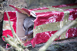 @Licensed to London News Pictures 18/12/15. Port Lympne, Folkestone, Kent. Meerkats (suricata suricatta) unwrap their early Xmas presents at Port Lympne Wild Animal Reserve in Port Lympne, Kent today. Photo credit: Manu Palomeque/LNP
