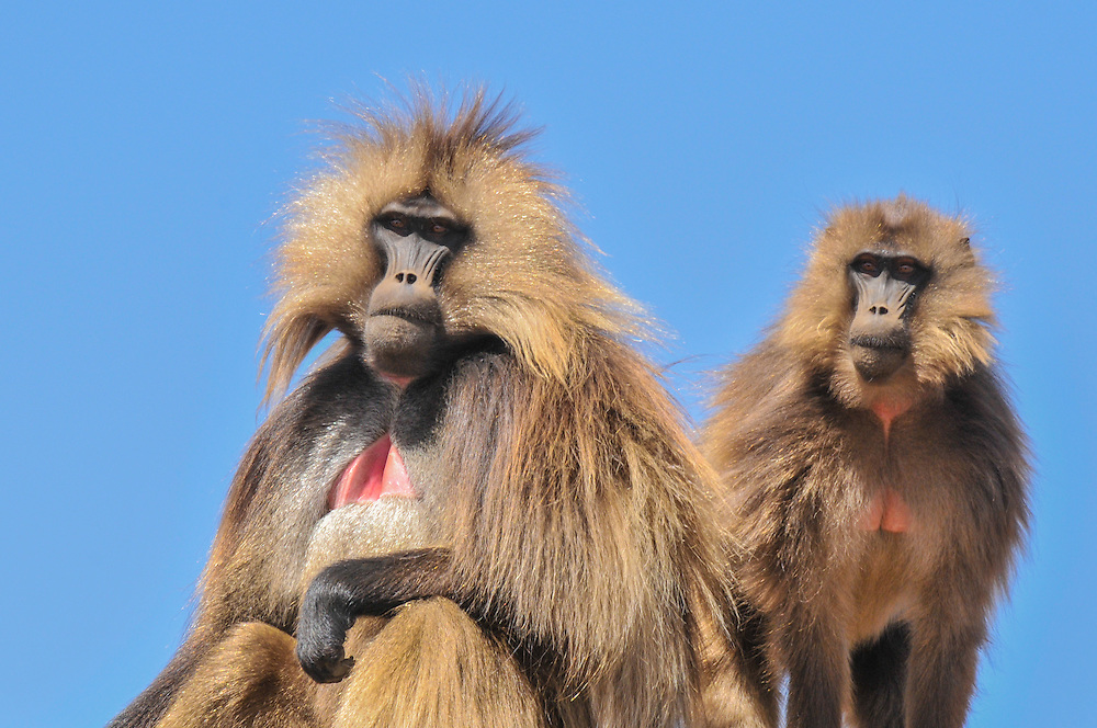 Two Gelada baboons on the plains of the Simiën mountains, Debark, Ethiopia.