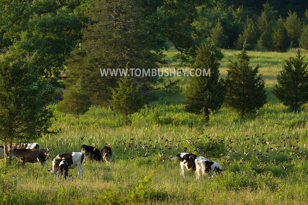 Chester, New York - Cows feed in a farm field as a flock of birds flies by on June 24, 2014. ©Tom Bushey / The Image Works