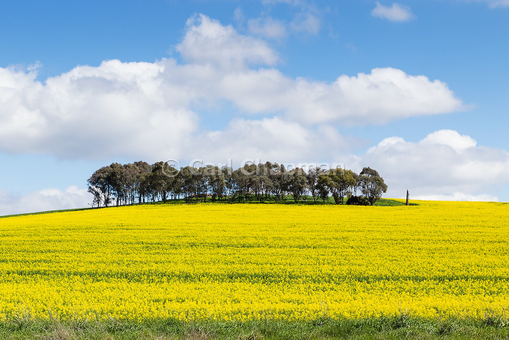 trees on hill overlooking canola crop under clouds near Morongla, New South Wales, Australia.