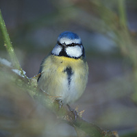 Blue tit Parus caeruleus UK