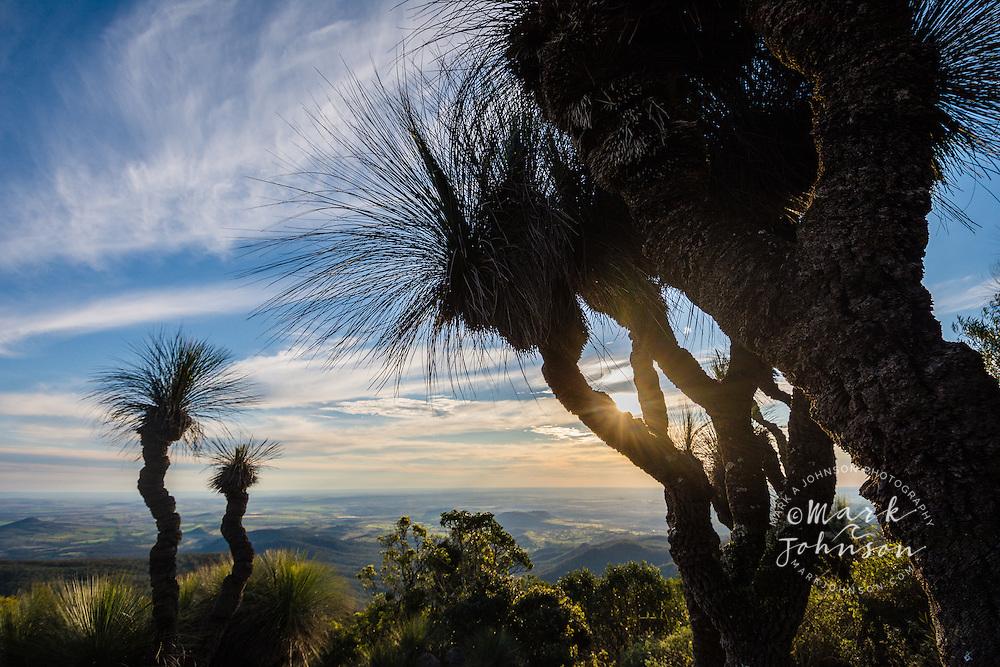 Grass Trees on Mt Kiangarow, Bunya Mountains National Park, Queensland, Australia