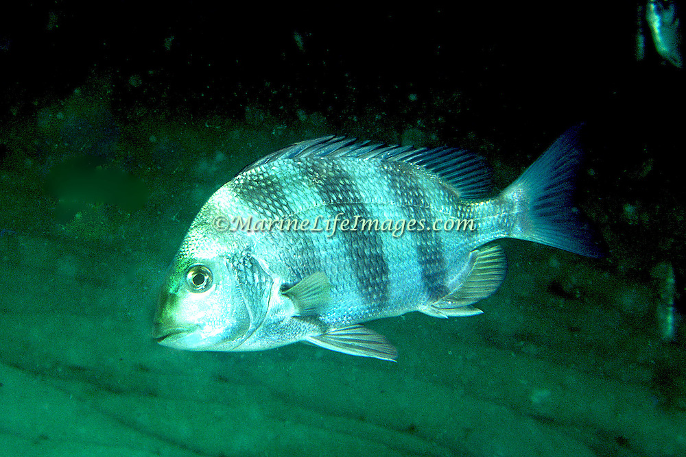Sheepshead Porgy hover above reefs and adjacent sand areas in Tropical West Atlantic; picture taken Panama City, Florida.