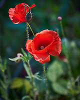 Red Poppy Flowers. Image taken with a Nikon Df camera and 80-400 mm VR II lens.