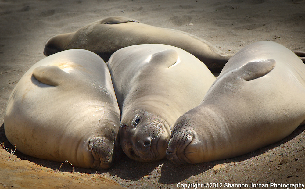 Appearing to be quite content and smiling, a  group of Elephant seals nap together on the beach near San Simeon California..The Northern Elephant Seal, Mirounga angustirostris, is an extraordinary marine mammal. It spends eight to ten months a year in the open ocean, diving 1000 to 5000 feet deep for periods of fifteen minutes to two hours, and migrating thousands of miles, twice a year, to its land based rookery for birthing, breeding, molting and rest. The Piedras Blancas rookery, on Highway 1 seven miles north of San Simeon on the California Central Coast, is home to about 17,000 animals. .