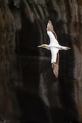 An Australasian Gannet soars majestically above the ocean with the painterly lines of an eroding cliff in the backdrop at Muriwai, New Zealand.  The gannet generally feeds over continental shelves or inshore waters, seldom far from land. Its diet is comprised mainly of pelagic fish, especially pilchard, anchovies and jack mackerel, but also squid and garfish. Prey is caught mainly by plunge-diving, but it is also seen regularly attending trawlers.