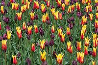 Tulpen, Keukenhof, Holland