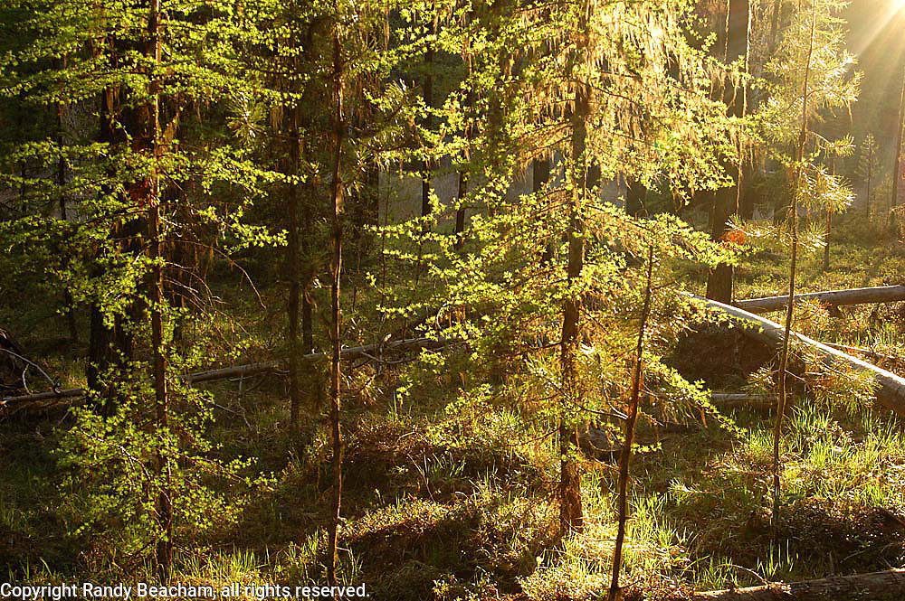 Western larch in spring at sunset. Yaak Valley in the Kootenai National Forest, Purcell Mountains, northwest Montana.