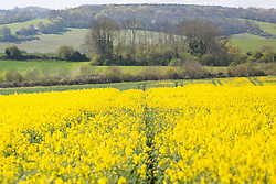 © Licensed to London News Pictures. 04/05/2016. A young man enjoys a walk through Cobham in Kent where there are rapeseed fields and bluebell woods. Cobham is just outside Gravesend, which regularly records the hottest temperature in the country. Credit : Rob Powell/LNP