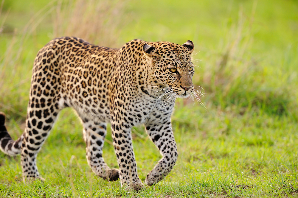 Leopard (Panthera pardus) walking in the Masai Mara Reserve, Kenya