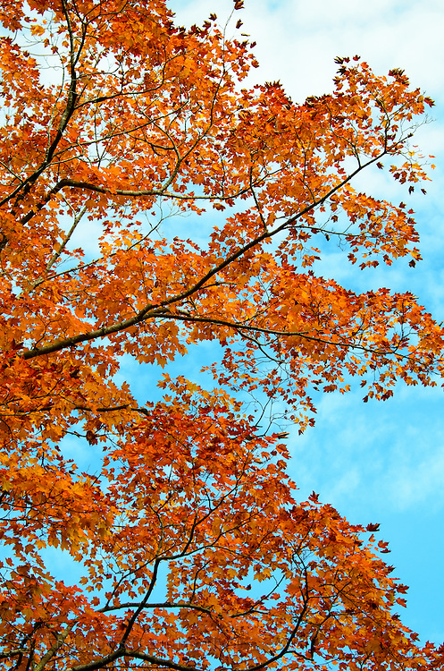 Red Maple (Acer rubrum) leaves turning vivid orange-scarlet in Acadia National Park, Maine.