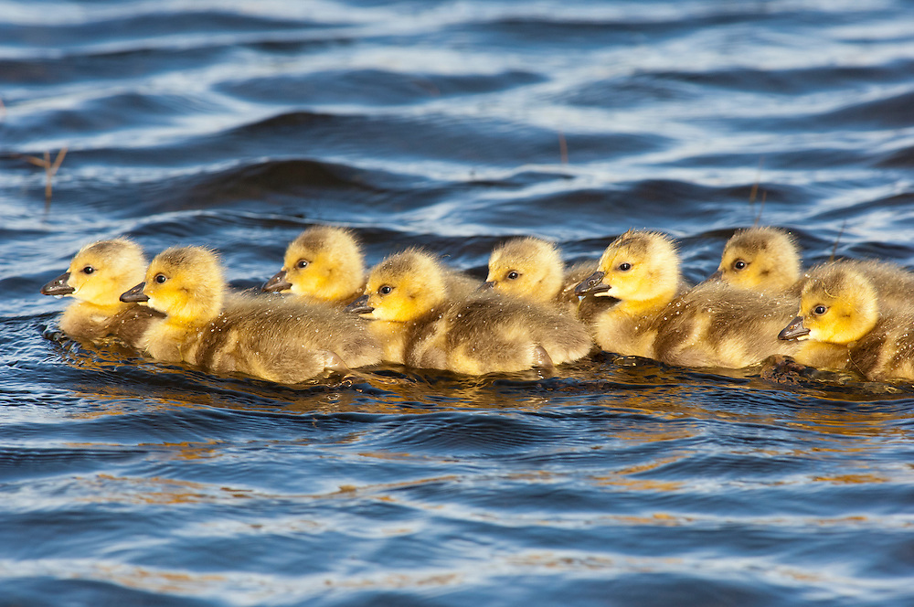 Canada Geese, Branta canadensis, goslings, Wayne County, Michigan
