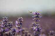 © Rob Arnold.  23/07/2014. Hampshire, UK. A hoverfly about to land on Lavender flowers in bloom on Summerdown farm estate near Malshanger in Hampshire. The lavender will be harvested and distilled into lavender oil that is a popular aromatherapy oil. The oil can be purchased from Summerdown Farms Ltd - www.summerdownmint.com Photo credit : Rob Arnold