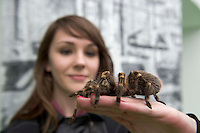 "Laura McGennis 1st year Science, at the ""undergrad"" Science Fair in NUIG with a Tarantula . Photo:Andrew Downes"