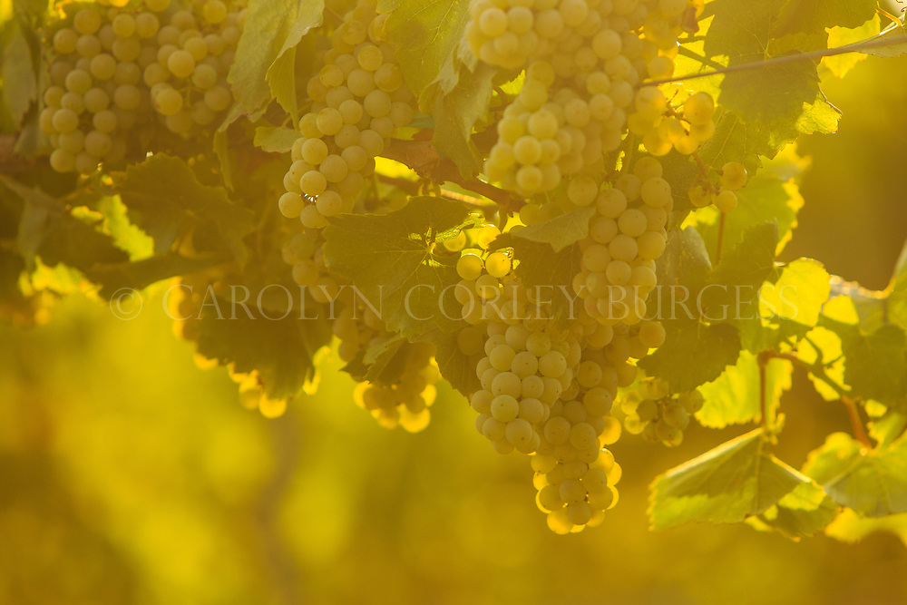 chardonnay grapes at sunset in oakville, california. napa valley. Chardonnay grapes at sunset. Oakville, California. Beringer Vineyards Gamble Ranch.