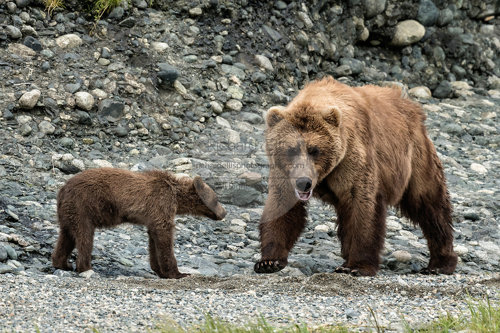 A grizzly bear sow protects her spring cub on the shore of the lower lagoon at the McNeil River State Game Sanctuary on the Kenai Peninsula, Alaska. The remote site is accessed only with a special permit and is the world's largest seasonal population of brown bears.