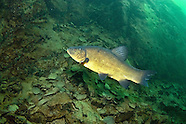 Tench, Underwater
