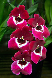 Deep red / purple and white orchids