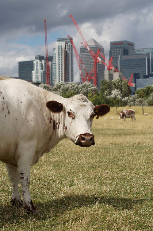 London. cows on a city farm in the shadow of Canary Wharf