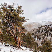 Ancient Bristlecone Pine Trees, White Mountain, California