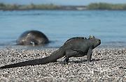 A Galapagos marine iguana walks along a sandy beach in front of a Green sea turtle on Fernandina island.