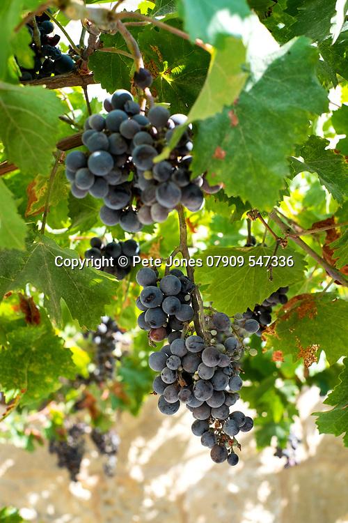 Grapes on the vine;<br />Mdina, Malta;<br />August 2017.<br /><br />© Pete Jones<br />pete@pjproductions.co.uk
