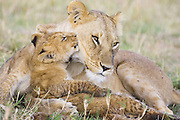 Lion<br /> Panthera leo<br /> Mother and young cub(s) (Approximately 8 weeks old)<br /> Masai Mara Conservancy, Kenya