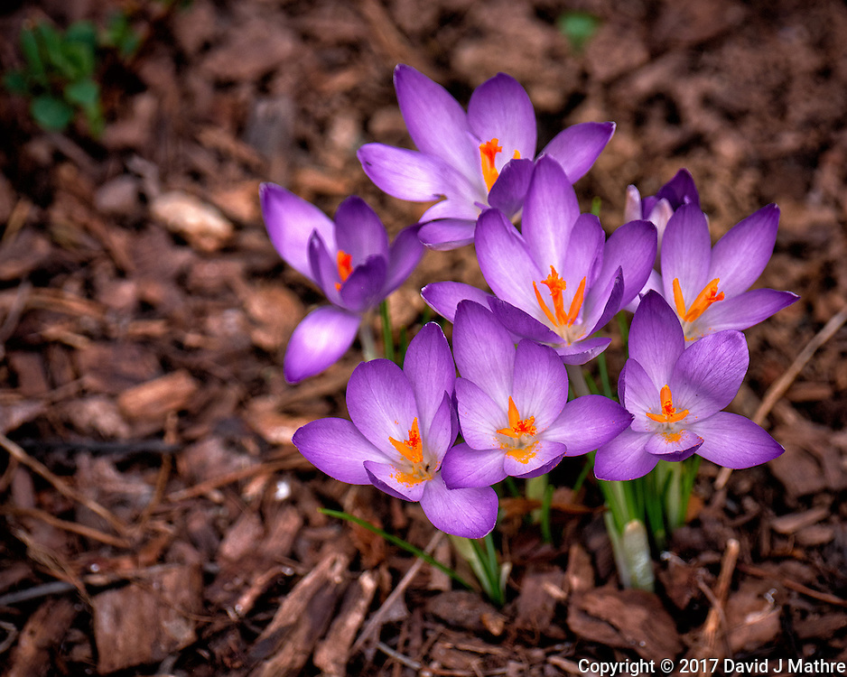 First Hint of Spring -- Early crocus flowers across the street. Winter nature in New Jersey. Image taken with a Fuji X-T2 camera and 100-400 mm OIS lens (ISO 200, 235 mm, f/5.6, 1/500 sec)