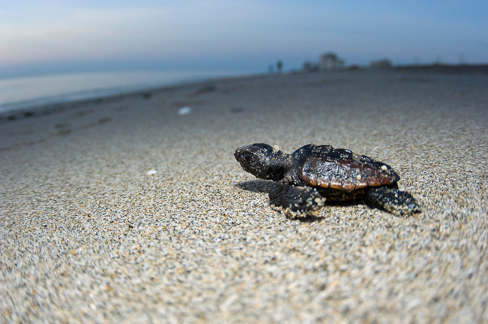 Rescued Loggerhead Sea Turtle Hatchling (Caretta caretta) on its way to the Atlantic Ocean after hatching on Juno Beach, FL, a major nesting location for the species.