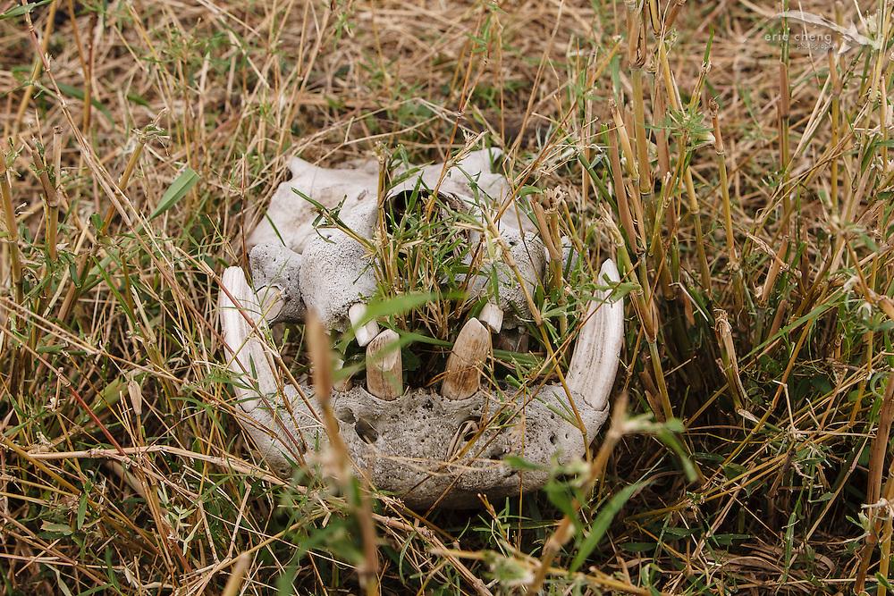 A mammal skull on the plains of the Serengeti, Tanzania