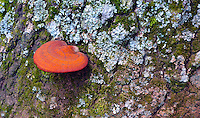 Wild orange mushroom growing on the side of a moss covered tree