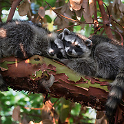 Raccoon kits snooze in a Pacific Madrone tree.