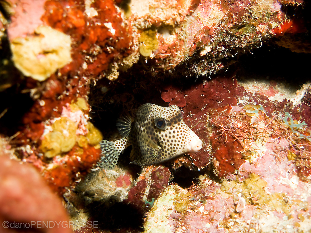 A spotted trunkfish in the waters around Roatan, Honduras.